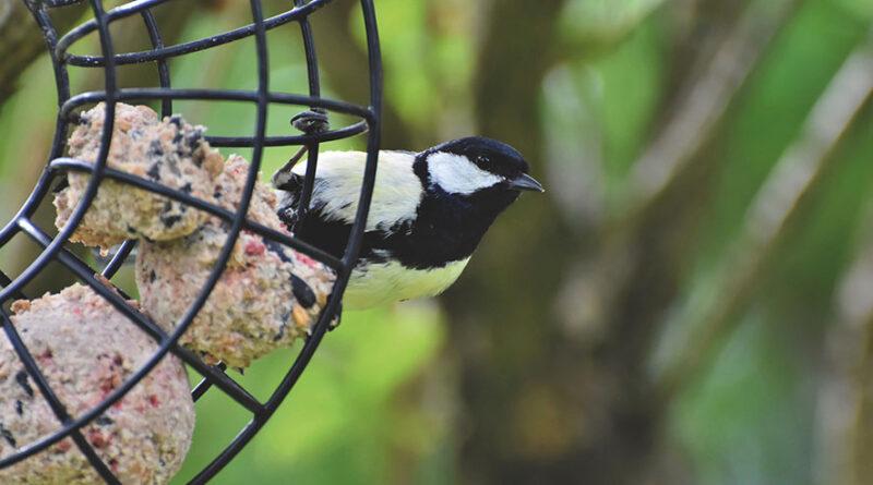A la maison – Fabriquez des boules de graisse pour les oiseaux